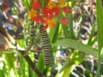 Counted 3 this AM eating up my Milkweed. And soon Butterflies!